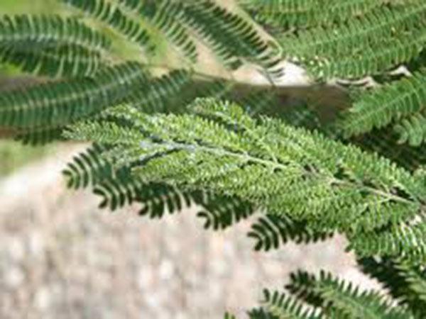 Antracnosi-delle-foglie