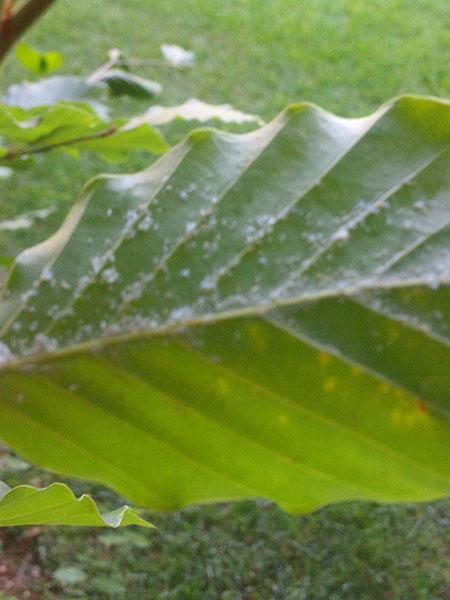 Colonizzare-pagina-inferiore-delle-foglie