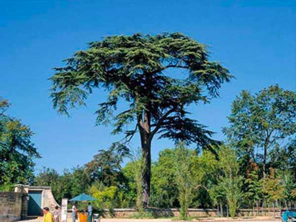 Difesa-albero-cipresso-malato