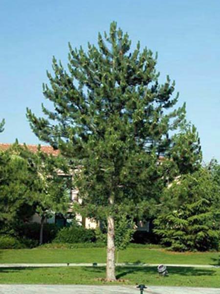 Difesa-fitosanitaria-conifere