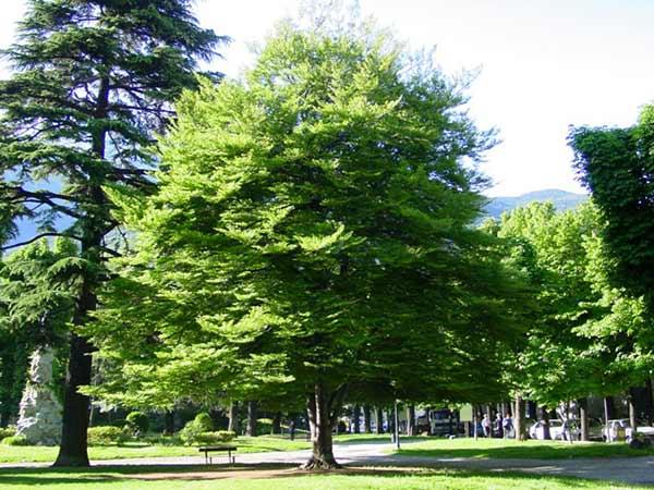 Piante Alto Fusto : Malattie delle piante quercia leccio ippocastano olmo