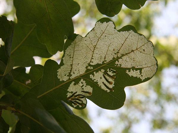 Metcalfa-pruinosa-piante