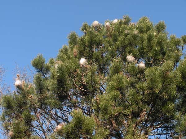 Minatori-fogliari-piante