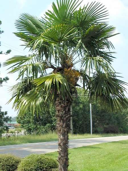 Parassita-delle-palme