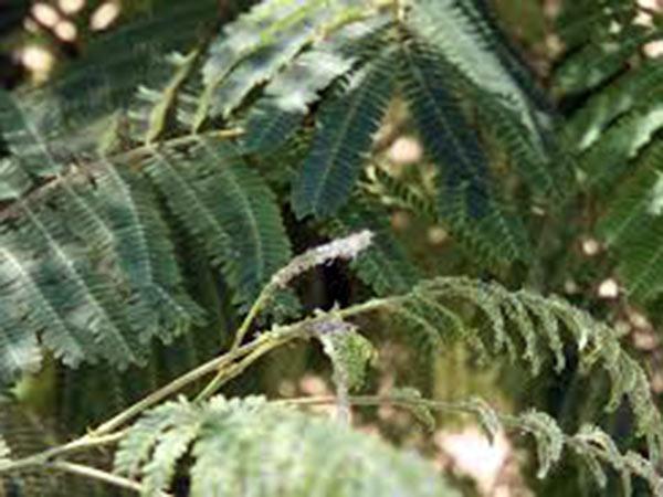 Cura-parassiti-Lymantria-Limacina