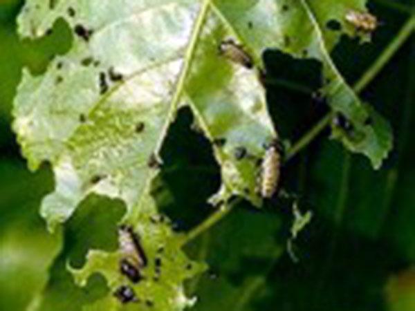 Elateridi-insetti-nocivi