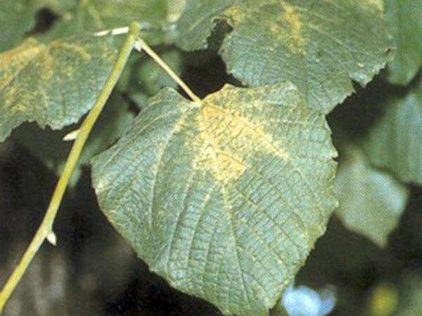 Malattie-Ragnetto-giallo-fitofago