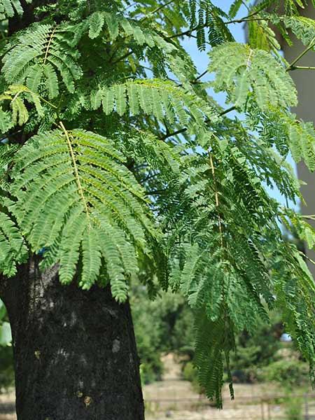 Malattie-alberi-pesco
