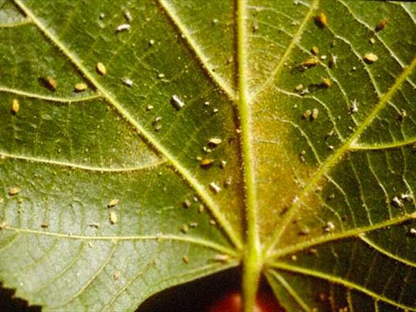 Pidocchi-parassiti-delle-piante