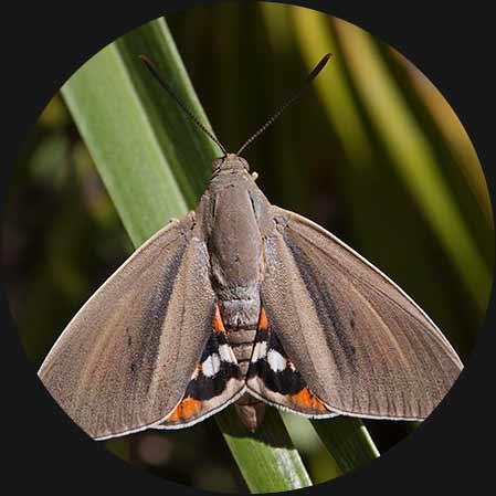 infestazione-da-Paysandisia-archon